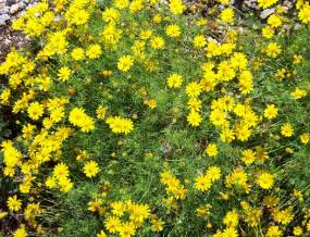 yellow blooming bushes yellow blooming shrubs images frompo 1