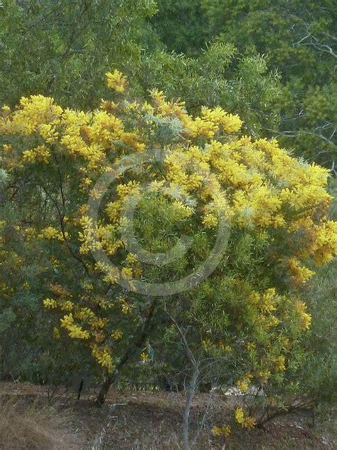 acacia podalyriifolia queensland silver wattle mount
