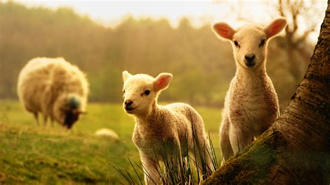 cute lambs play  mother  animal wallpaper