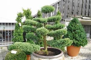 xxl bonsai vom fachbetrieb gartenbonsai in xxl With garten planen mit bonsai erde