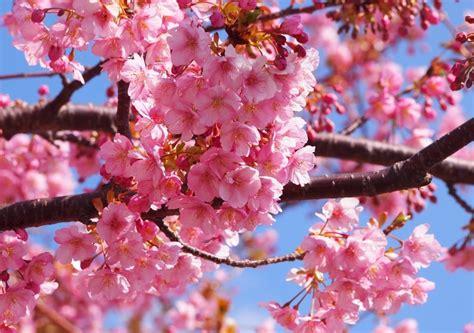 河津 桜 まつり