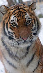 Siberian Tiger | Wild cats, Pretty cats, Bengal cat