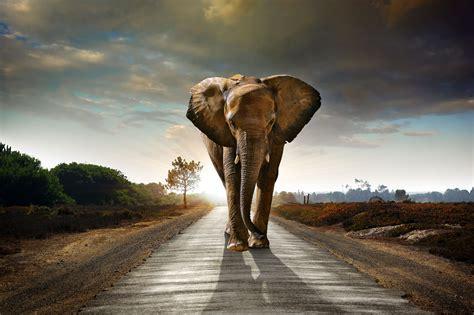 elephant walking   road hdr  hd animals