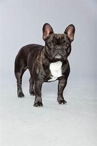 Hundebekleidung Französische Bulldogge : franz sische bulldogge z chter ~ Frokenaadalensverden.com Haus und Dekorationen