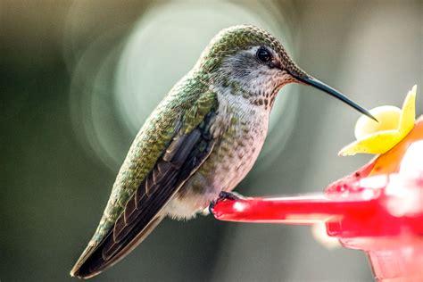 hummingbird feeding faqs audubon