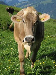 Brown Swiss is a breed of dairy cattle that originated on ...
