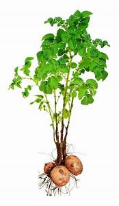Guide On Growing Potatoes - Greenmylife