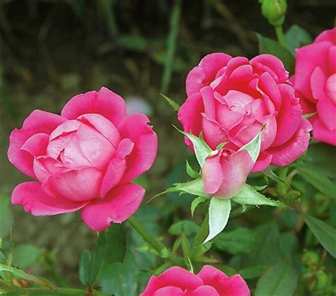 easy to grow roses beginners growing roses for beginners a beginners guide to rose growing growing roses