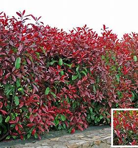 Photinia Red Robin : photinia red robin plante en ligne ~ Michelbontemps.com Haus und Dekorationen