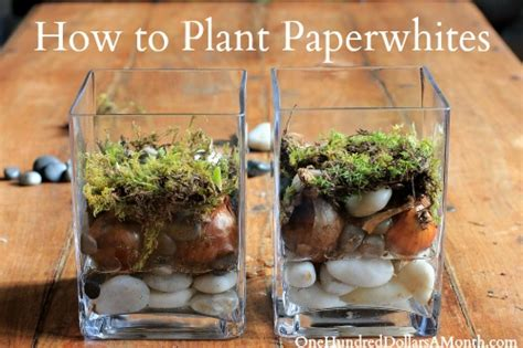 How To Plant Paperwhites  One Hundred Dollars A Month