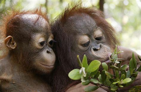 sauvons le dernier refuge des orangs outans sauvons la