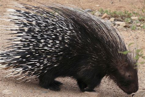 porcupine quills porcupine quills in dogs symptoms causes diagnosis treatment recovery management cost