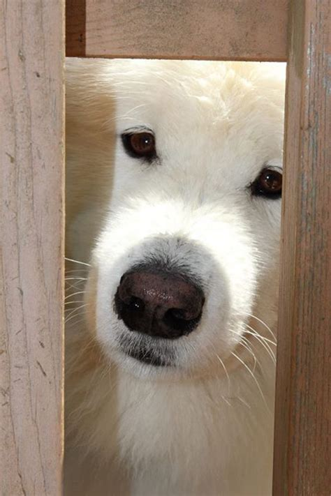 437 Best Samoyed The Dog That Smiles Images On Pinterest
