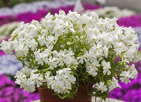 Ziemcietes - Floksis aslapu 'Spring White' (syn ...