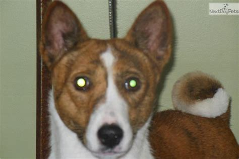 Adopt Chunky Monkey A Basenji Puppy For ???. Sweet Only