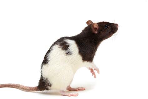 Rats – Compassion Circle