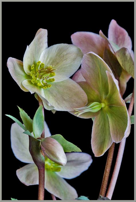 a up view of a hellebore