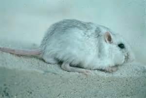 White Sands Apache Pocket Mouse