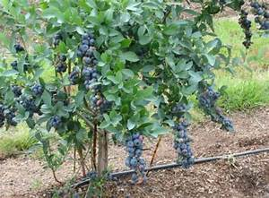TITAN™ BLUEBERRY PLANT | Just Fruits and Exotics