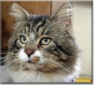 Tywin - Maine Coon, tabby mix - April 13, 2015