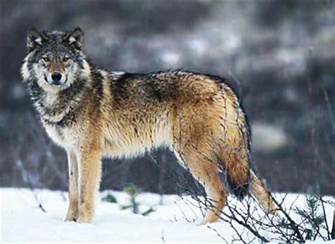 le loupe de bureau dialogues de bêtes le loup