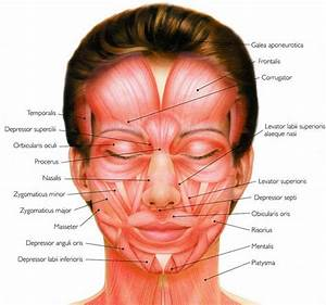 Human Facial Muscles That Are Responsible For Different Expressions