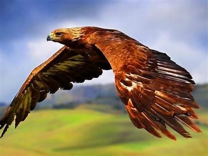 Hawk Tailed Desktop Widescreen Wide