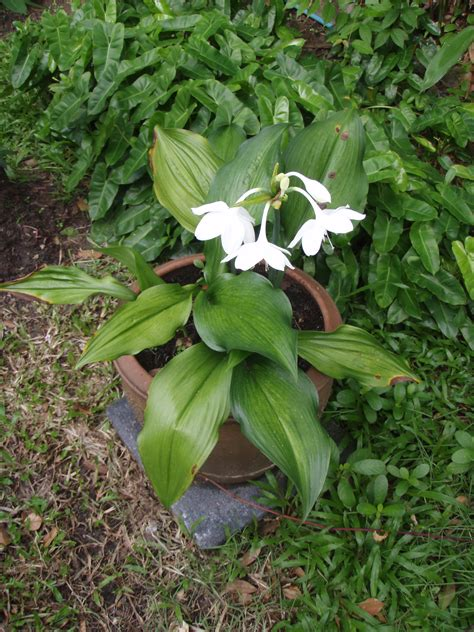 garden bulbs mahachok lovely tropical bulb plants in thailand with fragrant white blooms lat s gardening