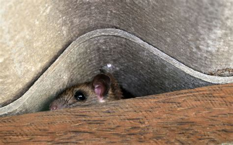 rat control london  effective long lasting rat
