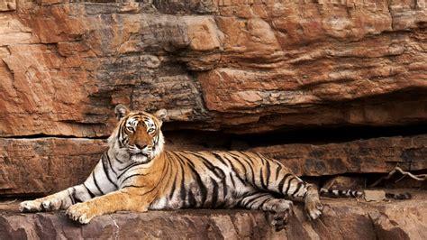 tigress machali oldest wild tiger machli dies worlds tease