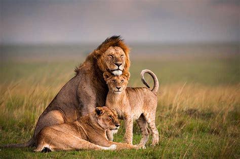 worldwide lions population declines due  prey abundance