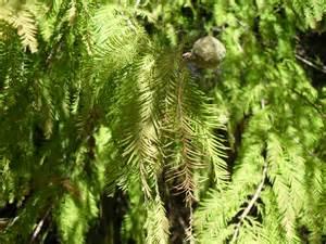 bald cypress vs pond cypress heisman
