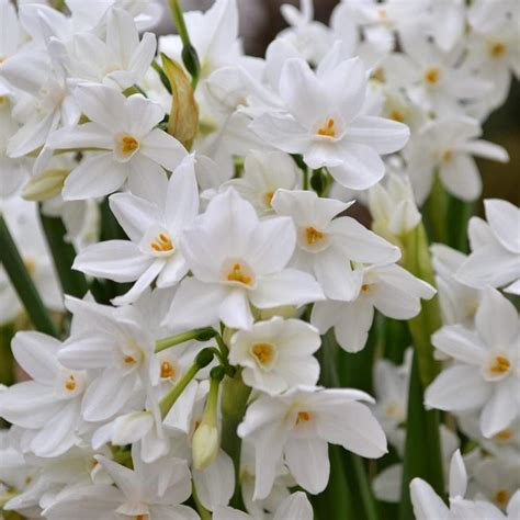 christmas indoor blooms paperwhites ready   holidays