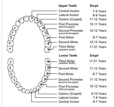 Tooth Diagram Chart by Teeth Diagram Unmasa Dalha