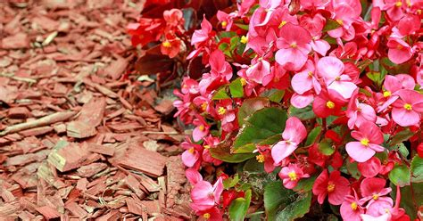 when do begonias bloom how to grow wax begonias and old fashioned annual gardener s path