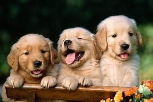 Cute Puppies Brown HD Wallpaper Series Puppy Hd - Litle Pups