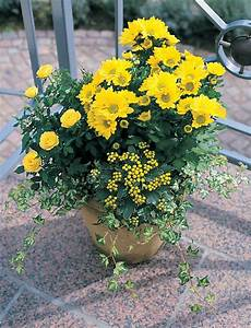 Dendranthema Hybride Balkon : krysantemum ~ Lizthompson.info Haus und Dekorationen