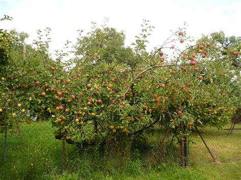 Fileapple Tree, Fryšták (5)jpg  Wikimedia Commons