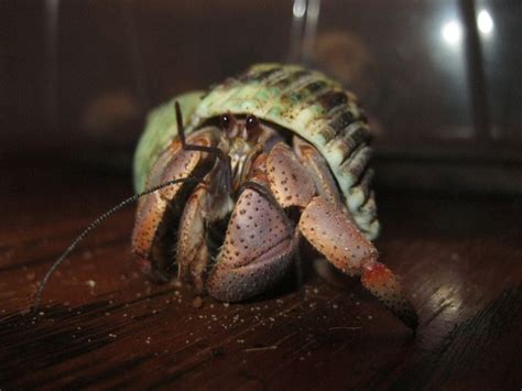 Do Hermit Crabs Shed Legs by 259 Best Images About Hermit Crab Care Food On