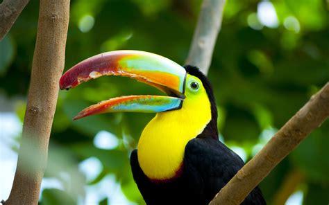 beautiful bird  beautiful color toucan wallpaper hd