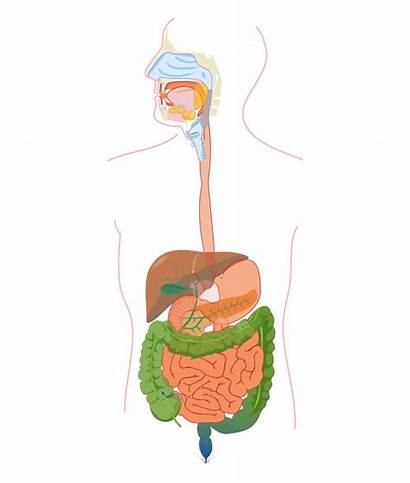 Digestive System Diagram Clipart Labels Without Exatin