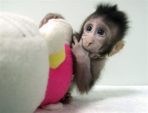successful cloned monkeys  china  humans