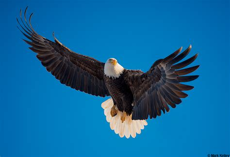 bald eagle alaskaimage mark kelley mark kelley