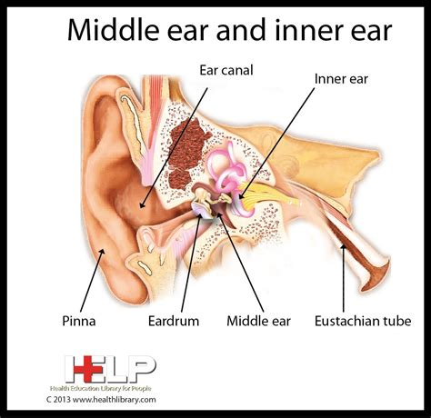 Middle Ear And Inner Ear Human Anatomy Diseases Tests