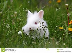 Dwarf White Bunny Royalty Free Stock Photos - Image: 24502628