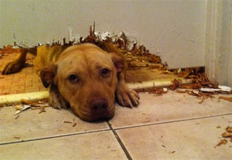 separation anxiety  dogs  rising concern australian