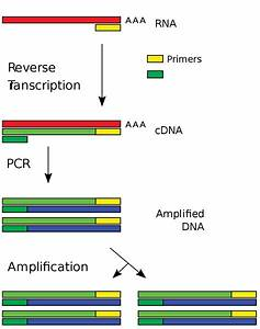 Reverse Transcription Polymerase Chain Reaction