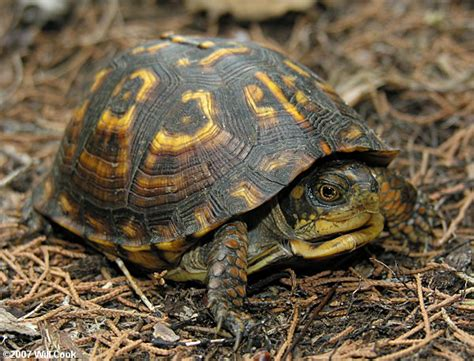 box turtle eastern box turtle terrapene carolina carolina