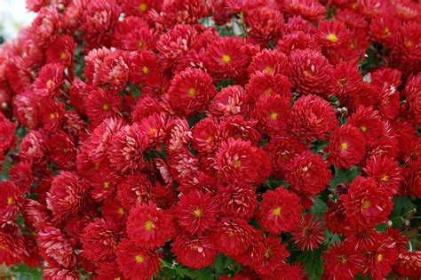 how do mums live belgian mums offer incredible performance mississippi state university extension service