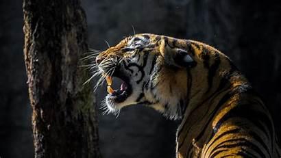 Tiger Animal Roar Wallpapers Wild 4k Roaring